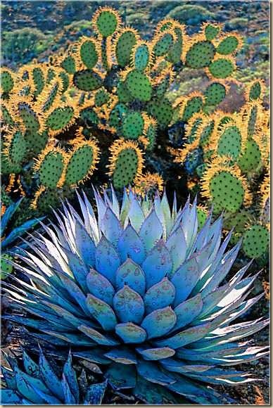 blue_agave_oasis